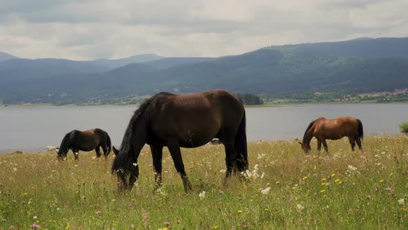 Thumbnail for Wild Horses Graze and Eat Grass in The Meadow on Lake in Bulgaria