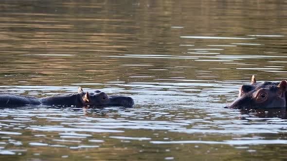 Two young male hippopotamus fighting in river