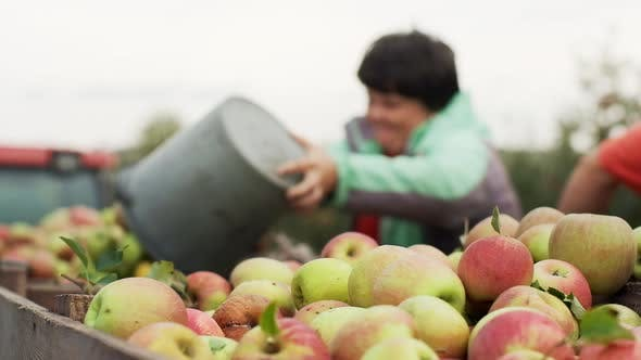 Thumbnail for Harvesting Fruit. Close-up