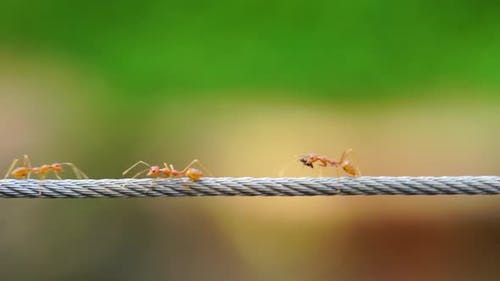 red ant colony walking across the wire
