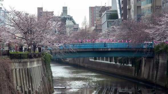 Thumbnail for Timelapse Cherry Blossoms on Meguro River Banks in Tokyo