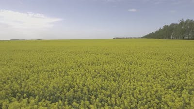 Oil Rapeseed Field D Log