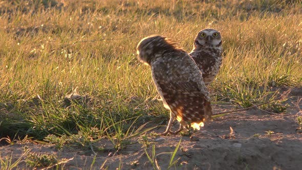 Thumbnail for Burrowing Owl Male and Female Birds Adult Pair Breeding Display in Spring