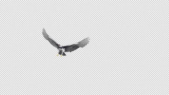 Thumbnail for Harpy Eagle - Flying Transition - II