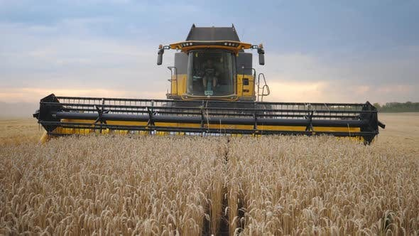 Front View of Grain Harvester Gathering Crop of Wheat at Evening Time. Unrecognizable Farmer Working