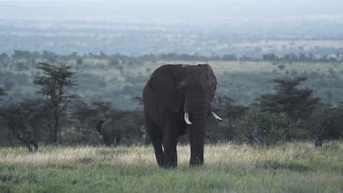Herd Of Large Elephant Walking Around And Looking For Fresh Grass To Eat In Kenya Wildlife - Wide Sh