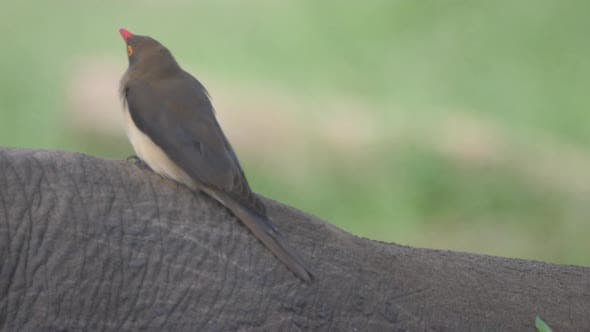 Thumbnail for Close up from  a Yellow-billed oxpecker on a rhino