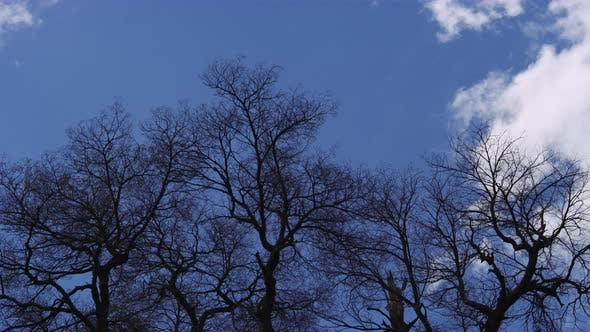 Thumbnail for Bare Tree Branches Softly Swaying Against White Clouds and Blue Sky