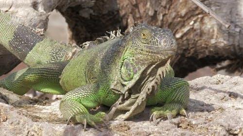 - Green Iguana Lying in the Sun