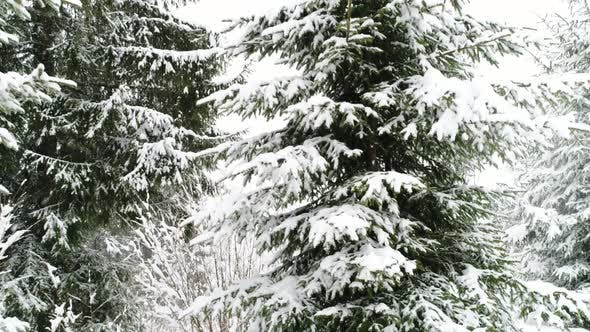 Thumbnail for Winter Carpathian Fir Tree in the Snow.