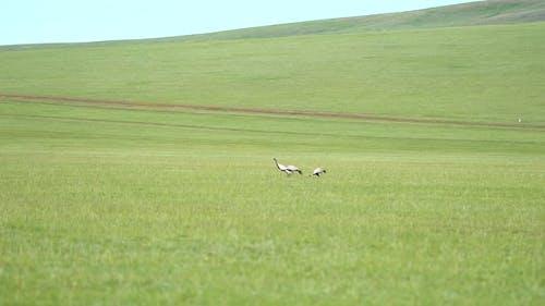 Echte Wildvran-Vögel, die in der natürlichen Wiese Lebensraum gehen
