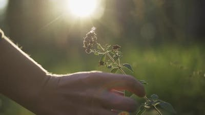 Woman Herbalist Collecting Wild Oregano Herbs