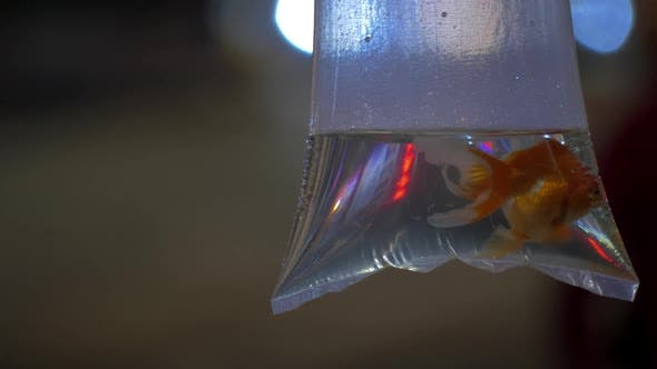 In Transparent Bag with Water Is Swimming Goldfish