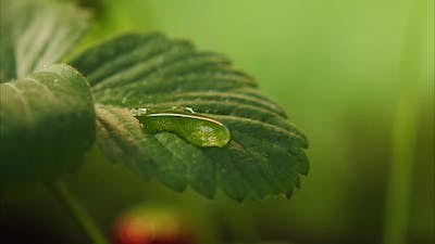 Drops of Water Falling on Strawberry Plant Leaf Closeup of Raindrop on Green Leaves