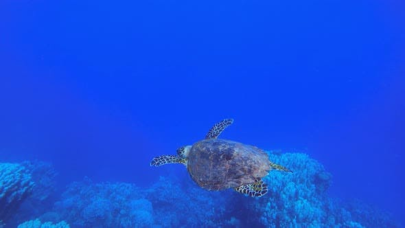 Thumbnail for Underwater Sea Turtle