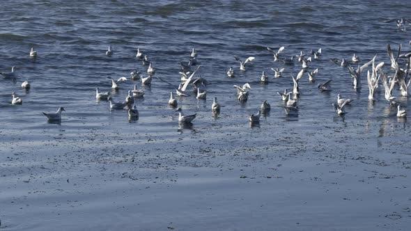 Le troupeau de mouettes décollant de l'eau bleue de l'océan au Ralenti