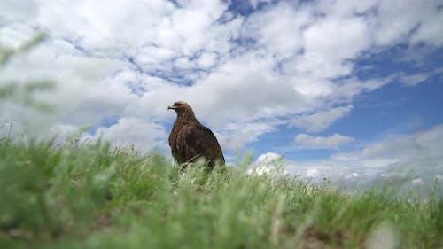 A Free Wild Golden Eagle Bird in Natural Habitat of Green Moorland
