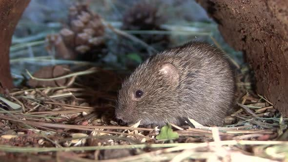 Thumbnail for Prairie Vole Adult Lone Sitting Resting in Autumn Under Cover in South Dakota