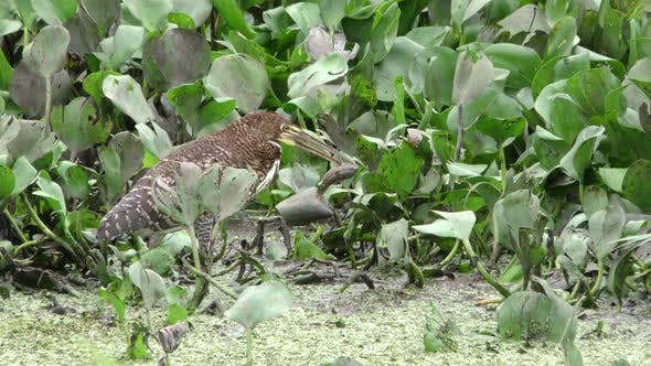 Rufescent Tiger Heron Immature Lone Predation Kill Capture Carrying Dropping Too Big