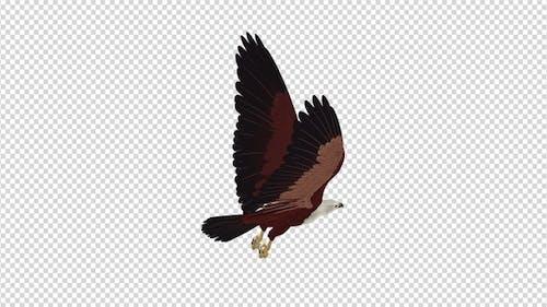 Brahminy Kite - 4K Flying Loop - Back Angle View