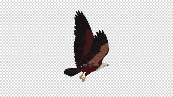 Thumbnail for Brahminy Kite - 4K Flying Loop - Back Angle View