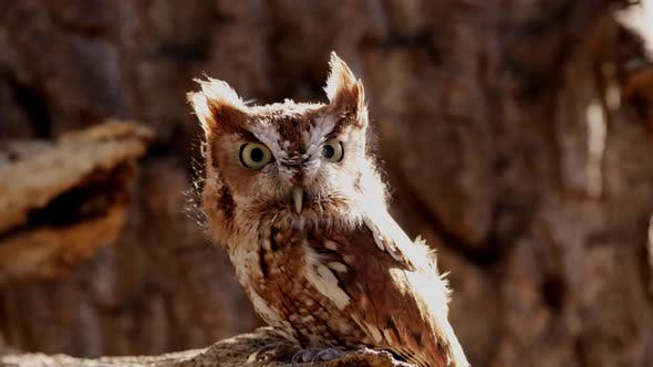 Thumbnail for Close up of a cute and fuzzy Eastern Screech Owl