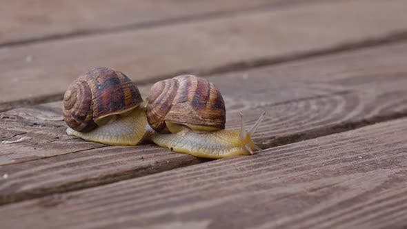 Thumbnail for Snails on a Wooden Board