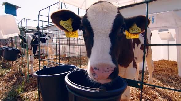 Thumbnail for Livestock Farm, Little Calf on the Farm, Nursery with Small Calves on a Dairy Farm, A Little Calf