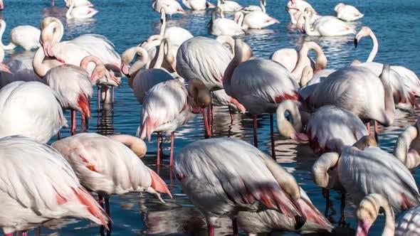 Thumbnail for flamingo bird nature wilflife reserve carmargue lagoon