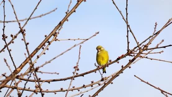 Thumbnail for European greenfinch - Carduelis chloris