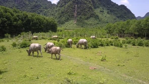 Herd of Buffaloes Walks Along Green Meadow Bird Eye View