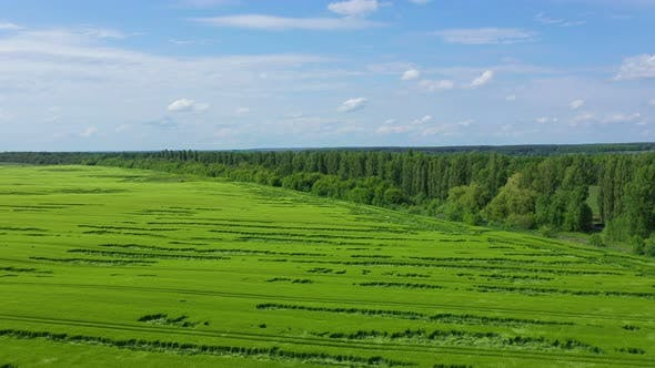 Aerial View Green Wheat Field Near Forest
