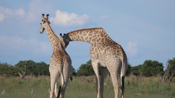 Thumbnail for Two giraffes fighting in Moremi Game Reserve