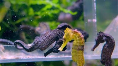 Black and Yellow Seahorses in Aquarium