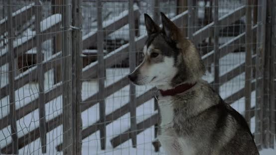 Thumbnail for Husky dog sitting still in the cage