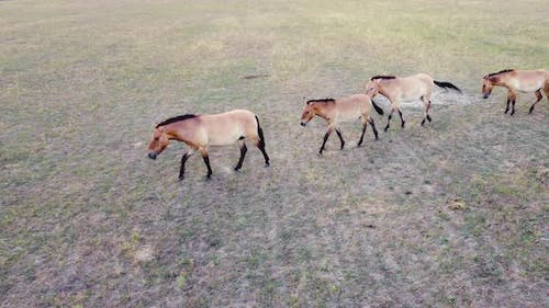 Large Herd Of Horses In Wild Nature at Meadow Animal Breeding Ecology Exploration Power Concept