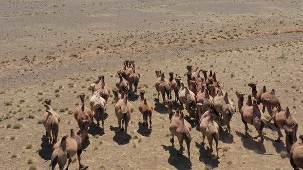 Thumbnail for Aerial View of Bactrian Camels Group in Steppe