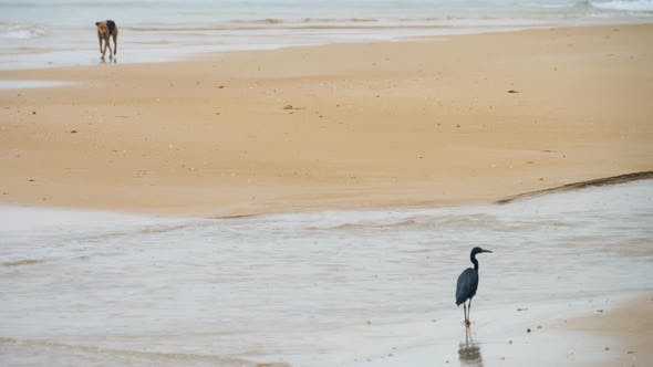 Thumbnail for Pacific Reef Heron Hunts for Fish