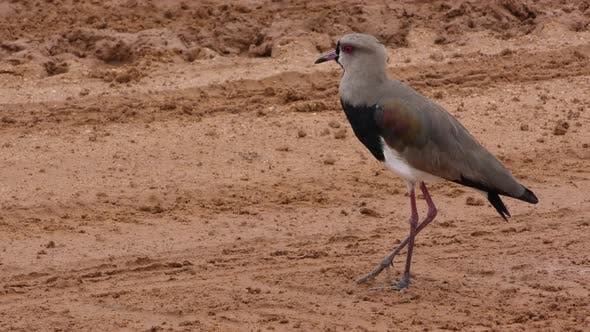 Thumbnail for Southern Lapwing Adult Lone Alarmed Nervous Wary in Brazil
