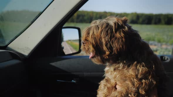 Thumbnail for A Small Curly Dog Rides on the Owner's Lap in a Car, Looks Ahead Out the Window