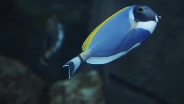 Surgeonfish Also Known As Acanthurus Leucosternon Swims in the Water Fish with a Blue Body Black