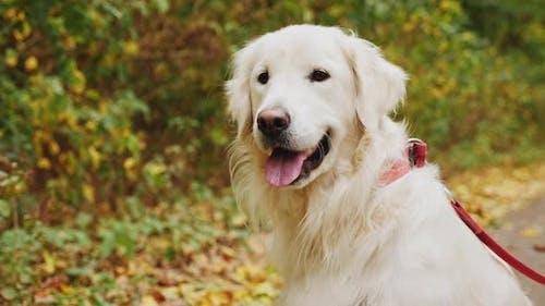 Golden Retriever Dog Portrait Outdoors