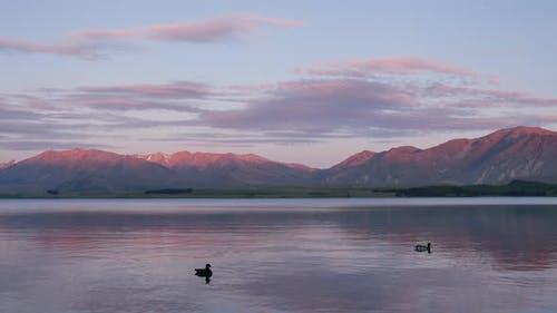 Mallard duck swim in the Lake Tekapo