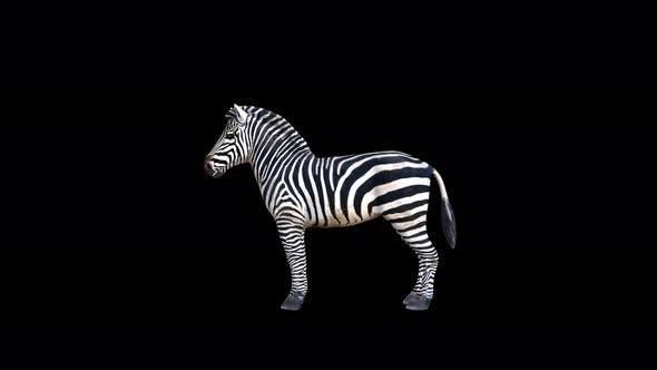 Thumbnail for 4K Zebra Eating