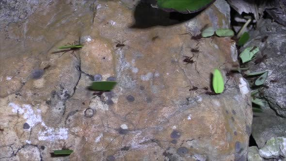 Leaf Cutter Ants Many Collecting Working Dry Season Night Carrying Leaves Nocturnal