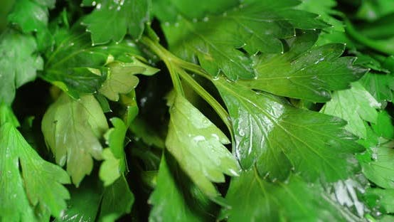 Fresh Washed Parsley for the Salad.