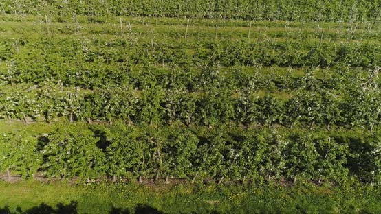 Thumbnail for Apple Orchard in August Aerial Shoot
