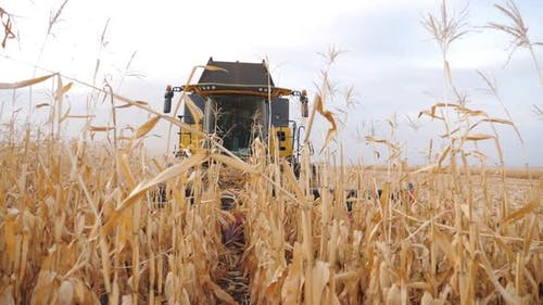 Front View of Grain Harvester Gathering Maize Crop in Farmland
