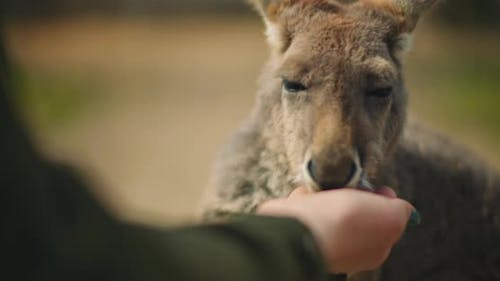 Little eastern grey kangaroo eating from a person's hand, close up, BMPCC 4K