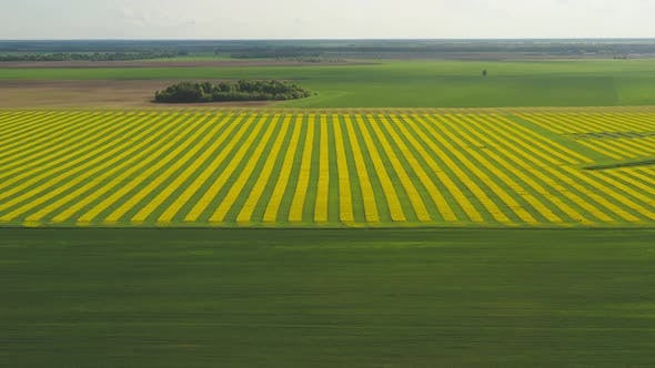 Thumbnail for Green Beautiful Fields of Belarus with Blooming Rape. View From a Height